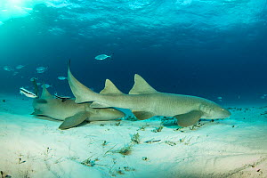 Nurse sharks (Ginglymostoma cirratum) on a sandy seabed with Bar jacks (Caranx ruber) and Remora fish,  South Bimini, Bahamas. The Bahamas National Shark Sanctuary, West Atlantic Ocean. - Franco  Banfi