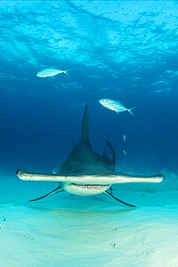 Great hammerhead shark (Sphyrna mokarran) swimming over sandy seabed, South Bimini, Bahamas. The Bahamas National Shark Sanctuary, West Atlantic Ocean. - Franco  Banfi