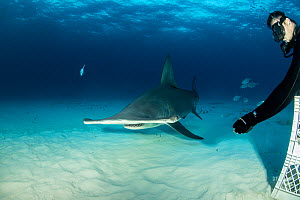 Great hammerhead shark (Sphyrna mokarran) being hand fed by a scuba diver, South Bimini, Bahamas. The Bahamas National Shark Sanctuary, West Atlantic Ocean.  -  Franco  Banfi