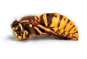 Common Wasp (Vespula vulgaris) queen found hibernating on a sheet of paper in an outhouse. Surrey, England. Digitally enhanced.  -  Kim Taylor