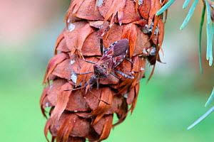 Western conifer seed bug (Leptoglossus occidentalis) on Douglas Fir cone. Species recently introduced to Europe from North America and spread to Britain. Surrey, England  -  Kim Taylor