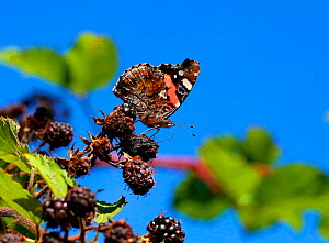 Red admiral (Vanessa atalanta) feeding on Blackberry. Surrey, England, UK, September.  -  Kim Taylor