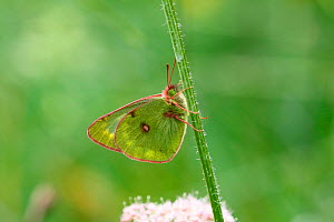 Pale clouded yellow butterfly (Colias hyale). Italy, July - Kim Taylor
