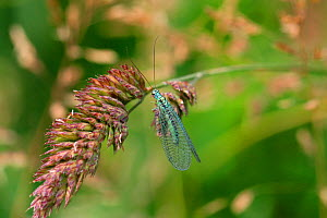 Green lacewing (Chrysopa perla) on grasshead, Surrey, England  -  Kim Taylor