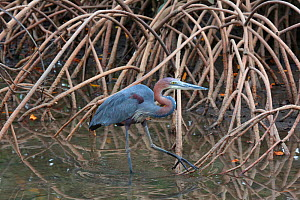 Goliath Heron (Ardea goliath) among Red mangrove (Rhizophora mangle). Gambia, Africa. - Kim Taylor