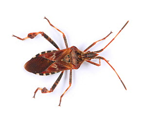 Western conifer seed bug (Leptoglossus occidentalis) recently introduced to Europe from North America and spread to Britain. Surrey, England, UK, November.  -  Kim Taylor