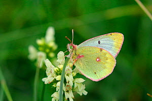 Pale clouded yellow butterfly (Colias hyale). Italy, July. - Kim Taylor