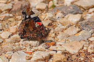 Red Admiral Butterfly (Vanessa atalanta) drinking from a moist stream bed. Italy, July.  -  Kim Taylor