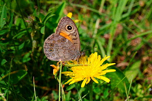 Large wall brown butterfly (Lasiommata maera) on flower, Italy, July. - Kim Taylor