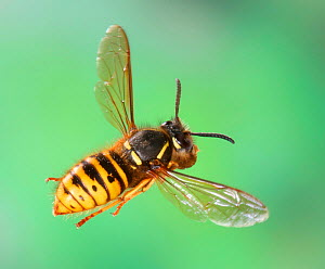 Saxony wasp (Dolichovespula saxonica) queen flying in to her nest carrying a ball of wood pulp. Surrey, England  -  Kim Taylor