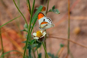 Tiny orange-tip butterfly (Colotis evagore). Gambia, Africa  -  Kim Taylor