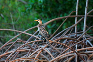 Long-tailed cormorant (Phalcrocorax africanus) on Red Mangrove (Rhizophora mangle). Gambia, Africa - Kim Taylor