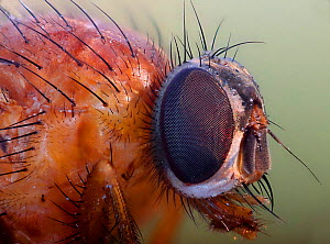 Fly (unidentified) head detail. Surrey, England. Digitally enhanced  -  Kim Taylor
