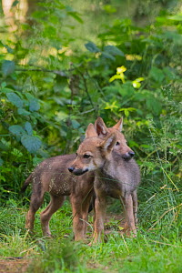 Grey wolf (Canis lupus) two month old cubs, captive - Edwin  Giesbers