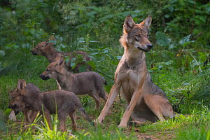 Grey wolf (Canis lupus) mother and two month old cubs, captive - Edwin  Giesbers