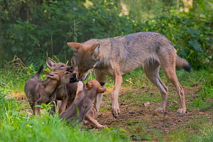 Grey wolf (Canis lupus) mother and two month old cubs, pups begging for food by licking mother's mouth, captive - Edwin  Giesbers