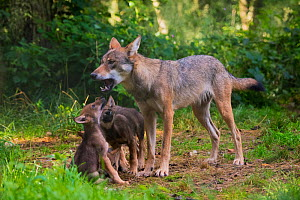 Grey wolf (Canis lupus) mother and two month  cubs, captive - Edwin  Giesbers