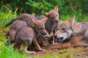 Grey wolf (Canis lupus) mother and two-month  cubs, captive - Edwin  Giesbers