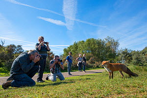 Red fox (Vulpes vulpes) tame individual with group of photographers, Netherlands. - Edwin  Giesbers