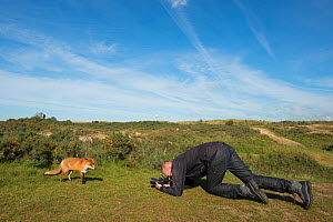 Photographer taking pictures of Red fox (Vulpes vulpes) tame individual, Netherlands. - Edwin  Giesbers