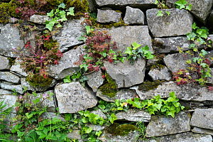 Drystone wall with ivy and moss, Peak District National Park, Derbyshire, UK - Gary  K. Smith