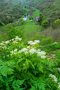 Sweet cicely (Myrrhis odorata) growing at the head of the Monsal Valley, Peak District National Park, Derbyshire, UK, May  -  Gary  K. Smith