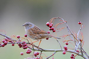 Dunnock (Prunella modularis) on Hawthorn, UK, November  -  Gary  K. Smith