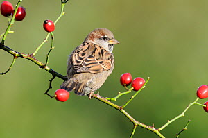 House sparrow (Passer domesticus) adult male in winter plumage, perched on wild rose hips Norfolk, UK, November - Gary  K. Smith