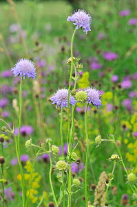 Field scabious (Knautia arvensis) in flower, Norfolk, UK, July - Gary  K. Smith