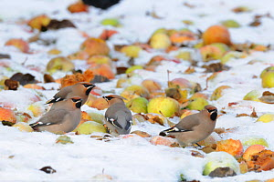 Waxwings (Bombycilla garrulus) feeding on windfall apples in snow, Norfolk, UK December  -  Gary  K. Smith
