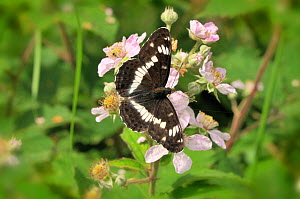 White Admiral butterfly (Limenitis camilla) adult at rest in woodland clearing, Norfolk, UK, July  -  Gary  K. Smith