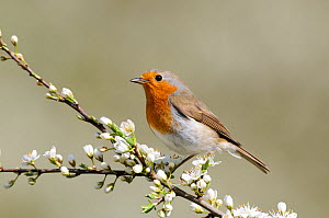 Robin (Erithacus rubecula) perched on Blackthorn blossom, Norfolk,UK, April  -  Gary  K. Smith