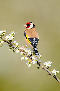 Goldfinch (Carduelis carduelis) male perched on Blackthorn blossom, Norfolk, UK, April  -  Gary  K. Smith