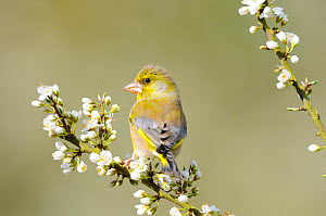 Greenfinch (Carduelis chloris) male perched on Blackthorn blossom, Norfolk, UK, April  -  Gary  K. Smith