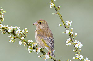 Goldfinch (Carduelis carduelis) female perched on Blackthorn blossom, Norfolk, UK, April  -  Gary  K. Smith