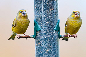 Greenfinch (Carduelis chloris) two adult males on feeder, UK, February  -  Gary  K. Smith