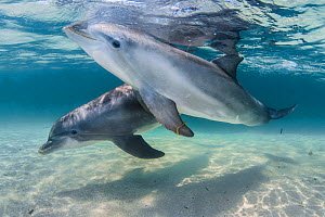 Bottlenose dolphins (Tursiops truncatus) swimming over a sandy bottom, Roatan Island, Bay Islands, Honduras Carribean.  Captive dolphins used in spectacle; they go out the fence for some minutes a day...  -  Jordi Chias