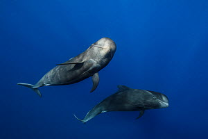 Pilot whales (Globicephala macrorhynchus) just below surface, Tenerife, Canary Islands, Atlantic Ocean - Jordi Chias