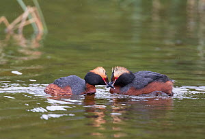 Two Slavonian grebes (Podiceps auritus) in courtship display. Porsanger Fjord, Finmark, Norway  -  Roger Powell