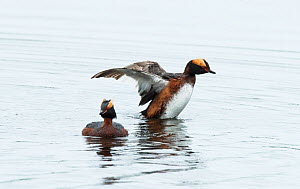 Two Slavonian grebes (Podiceps auritus) courting, male raising wings in display. Porsanger Fjord, Finmark, Norway  -  Roger Powell