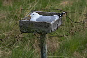Common gull (Larus canus) incubating in a nesting tray. These man-made structures were originally erected to ensure a fresh supply of eggs but are now part of a conservation programme.Porsanger fjord,...  -  Roger Powell