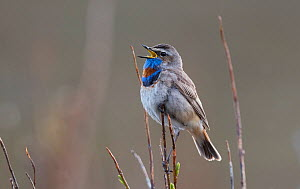 Red-spotted bluethroat (Luscinia svecica) singing from a Willow twig over breeding territory. Langbuness, Varanger fjord, Finmark, Norway  -  Roger Powell