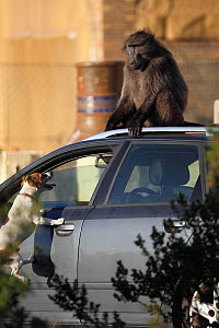 Dog barking at Chacma baboon (Papio ursinus) sitting on top of a car. South Africa. Non-ex. - Cyril Ruoso