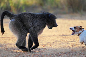 Chacma baboon (Papio ursinus) fighting with dog, South Africa - Cyril Ruoso