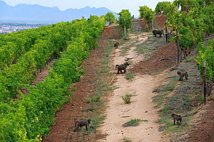 Chacma baboons (Papio ursinus) foraging in vineyard, Cape Peninsula, South Africa - Cyril Ruoso