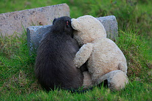 Chacma baboons (Papio ursinus) grooming teddy bear which it has stolen from a flat, Cape Peninsula, South Africa - Cyril Ruoso