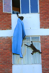 Chacma baboons (Papio ursinus) climbing into flats to steal food and playing with sheet, Cape Peninsula, South Africa - Cyril Ruoso