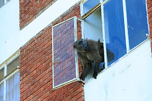 Chacma baboon (Papio ursinus) climbing into flats to steal food, Cape Peninsula, South Africa  -  Cyril Ruoso