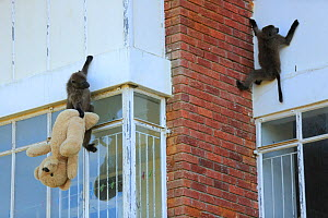Chacma baboon (Papio ursinus) climbing into flats and stealing a teddy bear, Cape Peninsula, South Africa - Cyril Ruoso