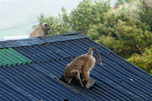 Chacma baboon (Papio ursinus) going through roof of house to steal bread, Cape Peninsula, South Africa  -  Cyril Ruoso